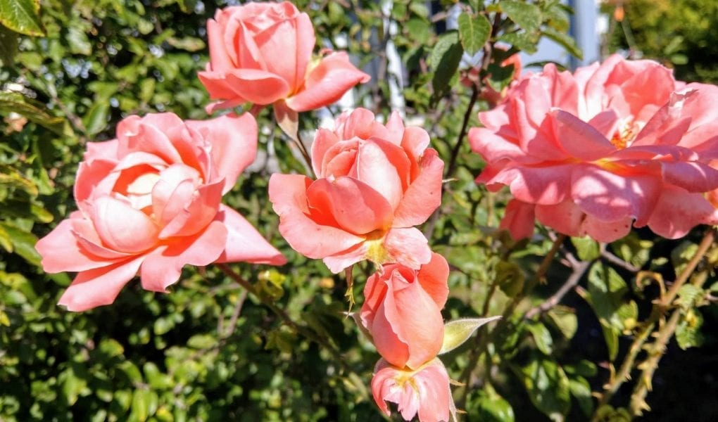12 von 12 im September 2018, Familienblog, Wochenmitte, Rosen, Garten