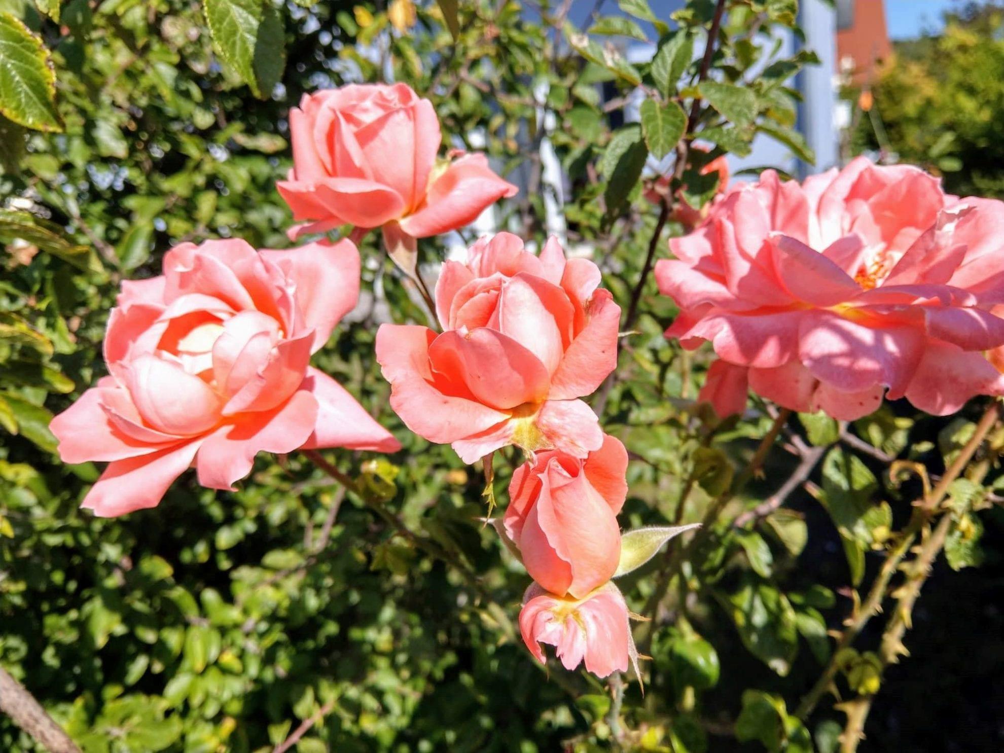 12 von 12 im September 2018, Rosenblüten, Rosen, Garten