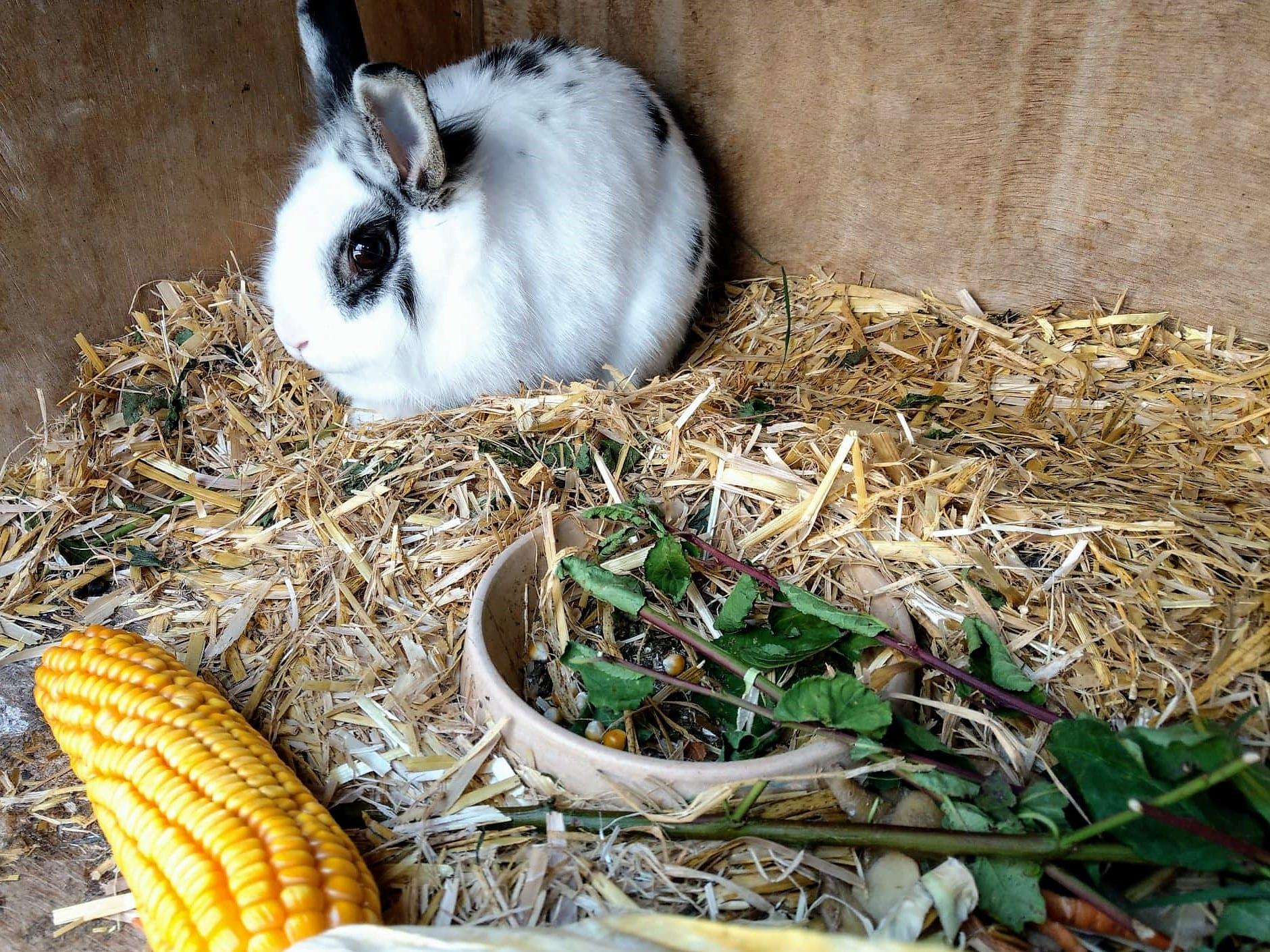 Unser Kaninchen im Stall mit frischem Mais