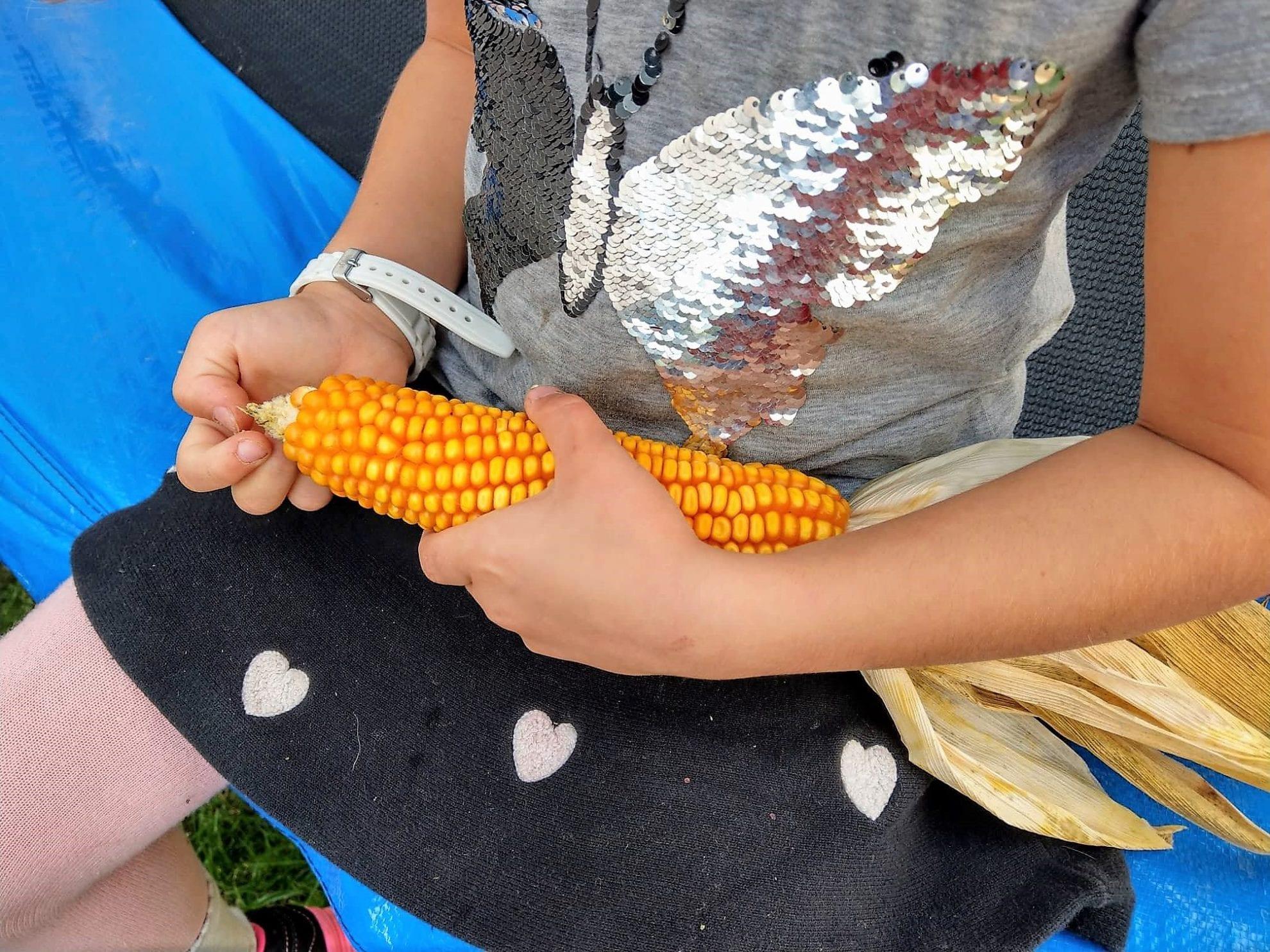 Der frische Maiskolben wird von den Kindern inspiziert.